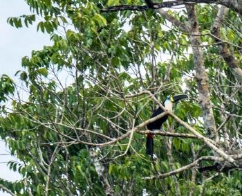 _DSC4110 Tucán Grande de cuello blanco,Brasil