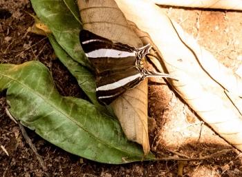 DSC_5698 Mariposa Amazónica,Brasil
