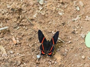 DSC_5704 El Meliboeus Swordtail,Brasil