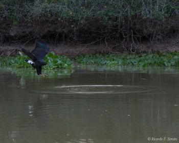 _DSC5601 Halcón, El Pantanal, Brasil