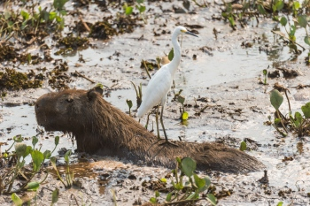 Capibara y Garza Blanca