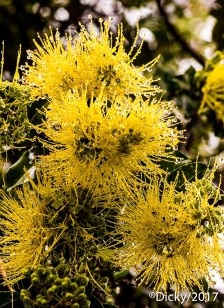 Ohia amarillo Lehua, Maui