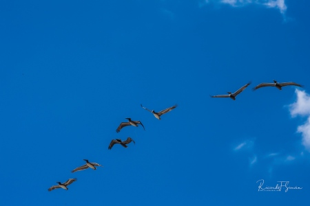 Pelicanos sobrevolando la Costa