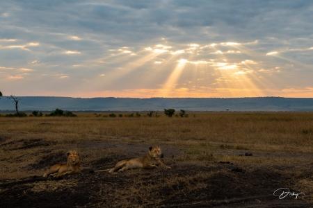 DSC_0319-2-HDR Africa, Africa V, Kenya, leon, Masai Mara, Pa