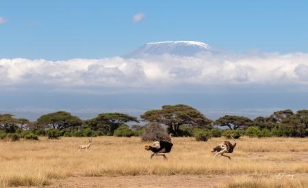 _DSC0102 Ambosseli, Avestruz, Kenya, Monte Kilimanjaro.jpg