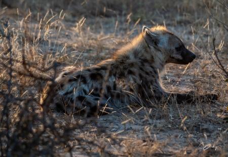 DSC_5280-2 Africa V, Hiena, Sur Africa.jpg