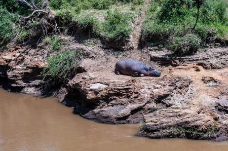 DSC_0295-3 Africa, Africa V, hipopotamo, Kenya, Masai Mara.j