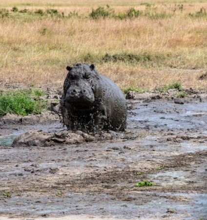 DSC_2884 Africa, Africa V, hipopotamo, Kenya, Masai Mara.jpg