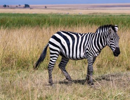DSC_0082 Africa, Africa V, Kenya, Masai Mara, Zebra.jpg