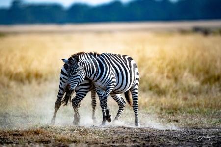 DSC_0527 Africa V, Kenya, Masai Mara, Zebras peleando.jpg