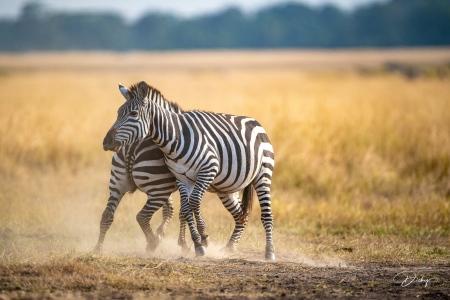 DSC_0528 Africa V, Kenya, Masai Mara, Zebras peleando.jpg