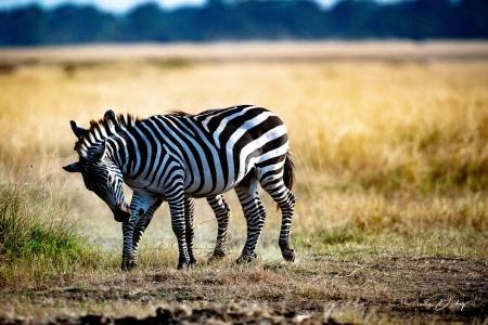 DSC_0537 Africa V, Kenya, Masai Mara, Zebras peleando.jpg