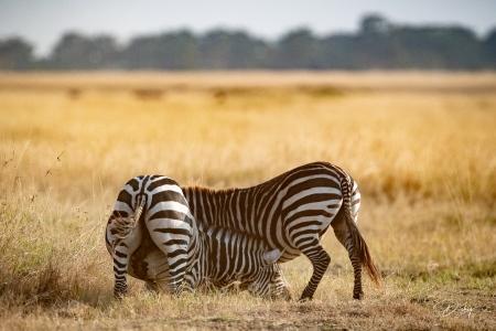 DSC_0542 Africa V, Kenya, Masai Mara, Zebras peleando.jpg