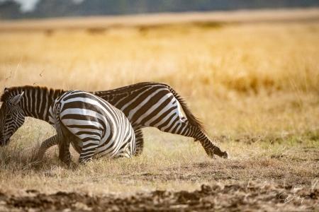 DSC_0544 Africa V, Kenya, Masai Mara, Zebras peleando.jpg