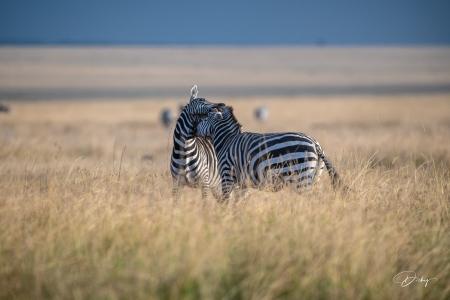 DSC_0576 Africa V, Kenya, Masai Mara, Zebras peleando.jpg