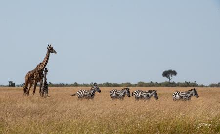 DSC_3600-2 Africa V, Jirafa, Kenya, Masai Mara, Zebra.jpg