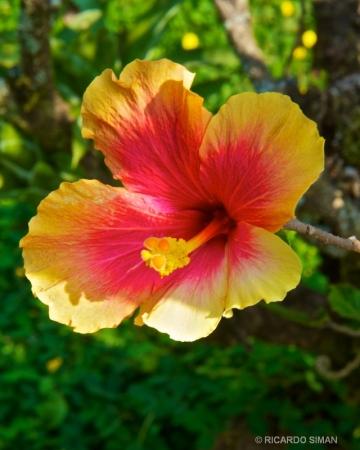 Clavel Bicolor