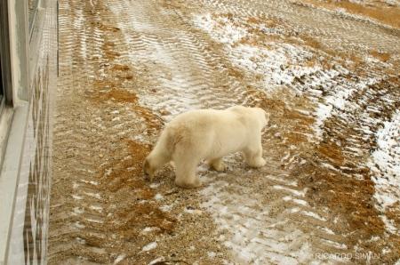 dsc 7994 Oso Polar,  Churchill, Manitoba, Canadá