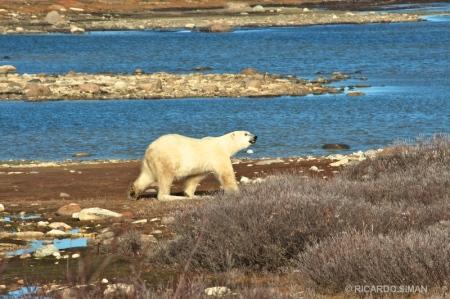 dsc 2771 Oso Polar, Churchill, Manitoba, Canadá