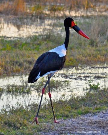 Ephippiorhynchus senegalensis -Kruger National Park
