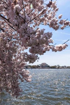 DSC_6732 Arbol de Cerezo al fondo Monumento a Jefferson