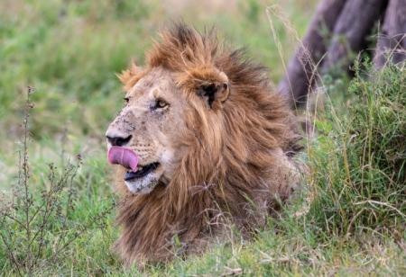 DSC_0218 Africa, Africa V, Kenya, leon, Masai Mara.jpg