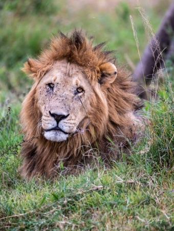 DSC_0226 Africa, Africa V, Kenya, leon, Masai Mara.jpg