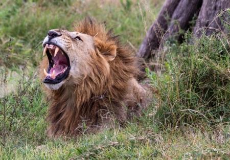 DSC_0249 Africa, Africa V, Kenya, leon, Masai Mara.jpg
