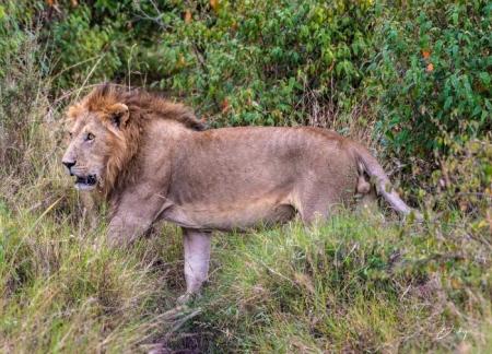 DSC_0301 Africa, Africa V, Kenya, leon, Masai Mara.jpg
