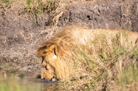 DSC_0413 Africa, Africa V, Kenya, leon, Masai Mara.jpg