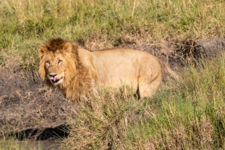 DSC_0438 Africa, Africa V, Kenya, leon, Masai Mara.jpg