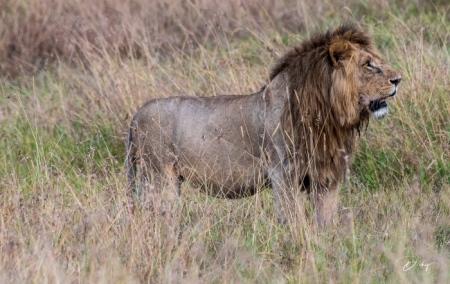 DSC_0489-2 Africa, Africa V, Kenya, leon, Masai Mara.jpg