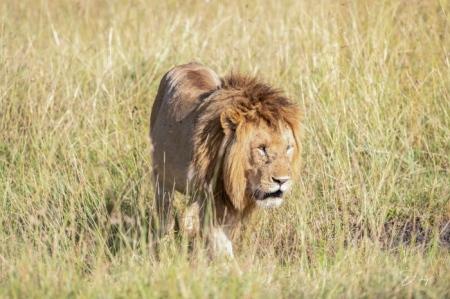 DSC_0500 Africa, Africa V, Kenya, leon, Masai Mara.jpg