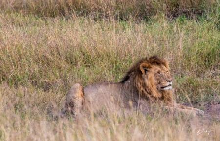 DSC_0541-2 Africa, Africa V, Kenya, leon, Masai Mara.jpg