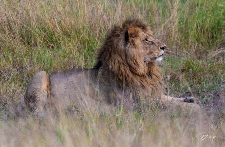 DSC_0666-2 Africa, Africa V, Kenya, leon, Masai Mara.jpg