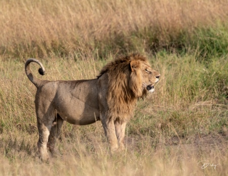 DSC_0713-2 Africa, Africa V, Kenya, leon, Masai Mara.jpg
