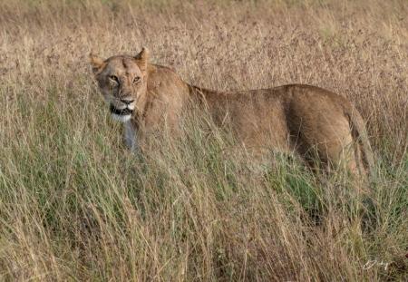DSC_1225 Africa, Africa V, Kenya, leon, Masai Mara.jpg
