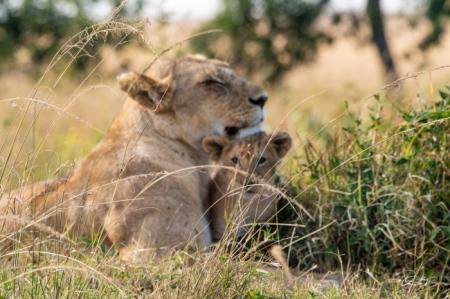 DSC_2810 Africa, Africa V, cachorro, Kenya, leon, Masai Mara