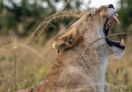 DSC_2863 Africa, Africa V, Kenya, leon, Masai Mara.jpg
