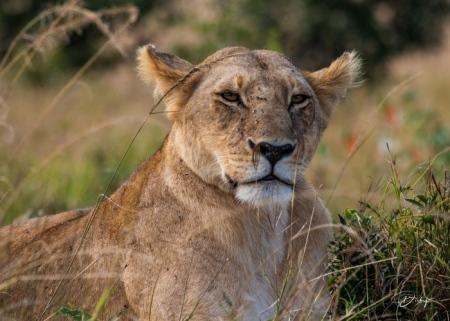 DSC_2868-2 Africa, Africa V, Kenya, leon, Masai Mara.jpg