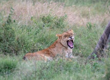 DSC_2953 Africa, Africa V, Kenya, leon, Masai Mara.jpg