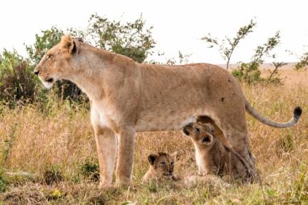 DSC_2954-2 Africa, Africa V, cachorro, Kenya, leon, Masai Ma
