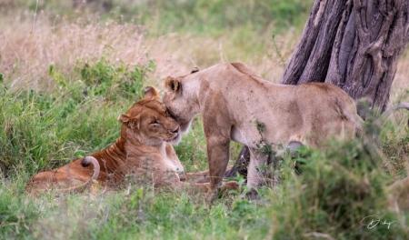 DSC_2969 Africa, Africa V, Kenya, leon, Masai Mara.jpg