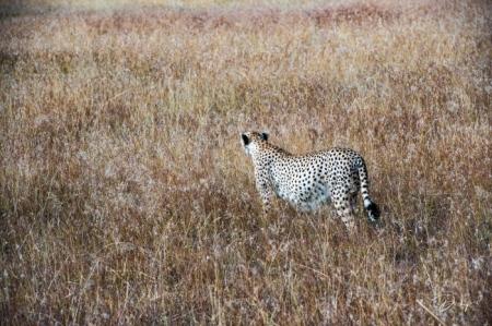 DSC_4533-2-2 Africa, Africa V, Cheetah, Kenya, Masai Mara.jp
