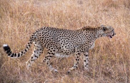 DSC_4525-2 Africa, Africa V, Cheetah, Kenya, Masai Mara.jpg