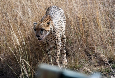 DSC_4463 Africa, Africa V, Cheetah, Kenya, Masai Mara.jpg
