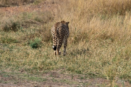 DSC_1863 Africa, Africa V, Cheetah, Kenya, Masai Mara.jpg