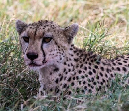DSC_1765-2 Africa, Africa V, Cheetah, Kenya, Masai Mara.jpg