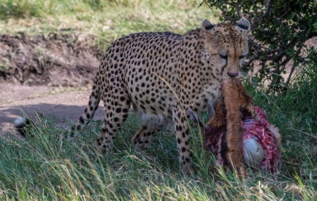 DSC_1815 Africa, Africa V, Cheetah, Kenya, Masai Mara.jpg