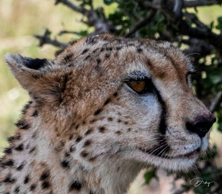 DSC_1737 Africa, Africa V, Cheetah, Kenya, Masai Mara.jpg